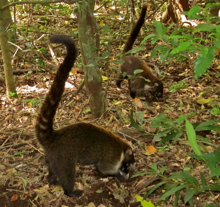 Coatimundi in Rincon de la Vieja Volcano and National Park  (© 2013 Susan Ashley Michael)