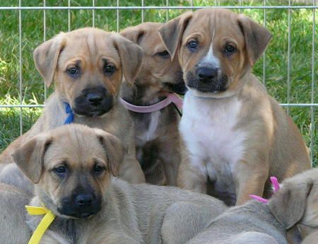 Shepard/Boxer(?) mix puppies -adorable!