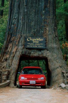 """Located 175 miles north of San Francisco at the junction of US 101 and Coast Highway 1, lies the tiny hamlet of Leggett known worldwide as the home of the Chandelier Drive-Thru Tree.  """"The Chandelier Tree in Drive Thru Tree Park is a 315 foot (96 metre) tall coast redwood tree in Leggett, California with a 6 foot (1.83 m) wide by 6 foot 9 inch (2.06 m) high hole cut through its base to allow a car to drive through. It is the most famous of all drive-thru trees. The hole was carved in the ..."""