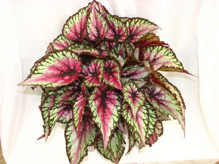 begonia rex Kamerplanten Indoorplants Pinterest
