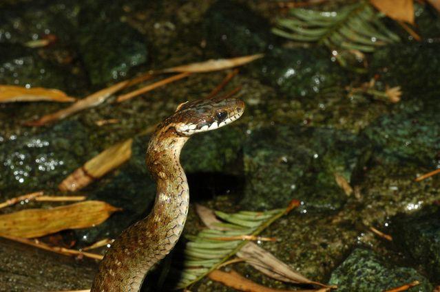 小さくてかわいい ヒバカリの特徴と飼育方法を紹介 他のヘビとの違いや毒をもっているの Woriver シマヘビ ヘビ アオダイショウ