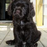 cocker spaniel puppies for sale make excellent family pets