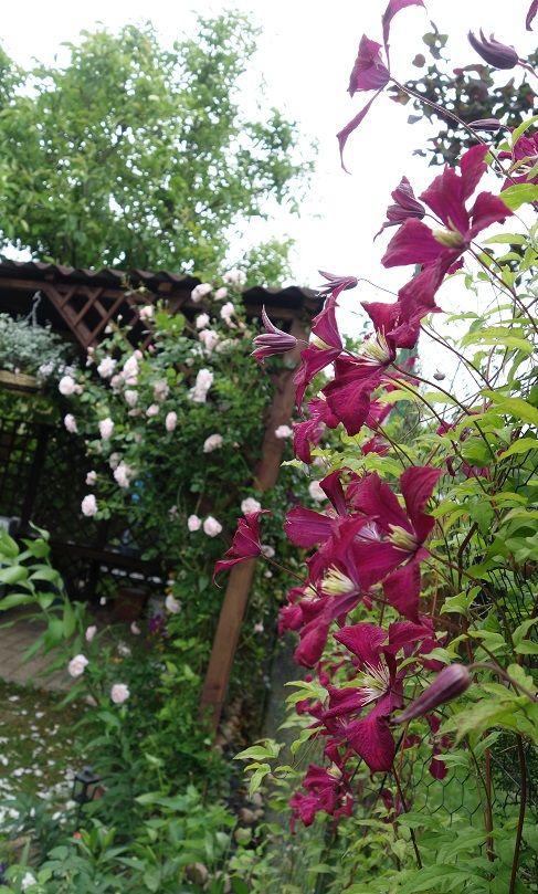 Mme Julia Correvon clematis, New Dawn rose