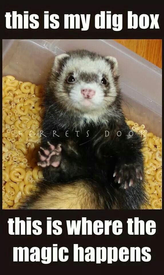 Best 20+ Ferret Toys ideas on Pinterest | Diy cat toys .