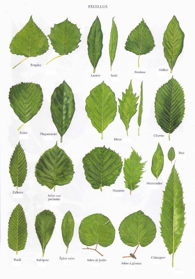 68 best Berry \ Leaf Patterns images on Pinterest Printables - editable leaf template