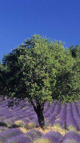 Quercus Ilex Full Standard, Holm Oak as a standard tree, London specialists in Mediterranean plants, UK