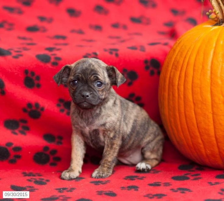 Jug Puppy for Sale in Pennsylvania                                                                                                                                                                                 More