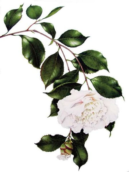 No Really, That's How I Do It - Divine Detail   American Society of Botanical Artists