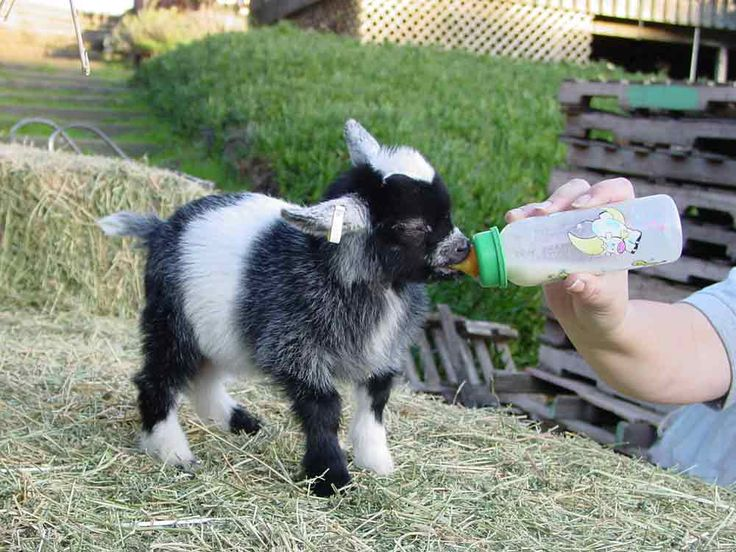 baby pygmy goats are the cutest