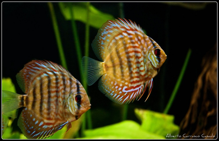 78 best images about discus fish on pinterest pigeon for Discus fish for sale near me