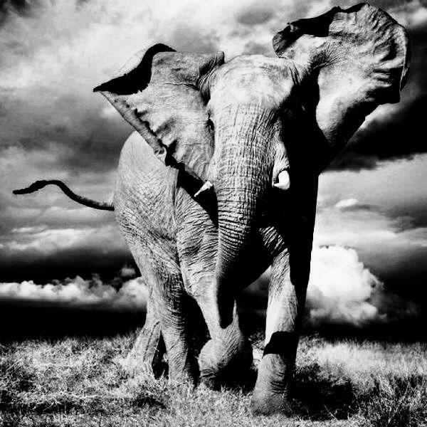 Elephant black-white
