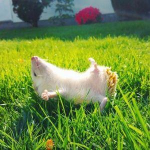 cute hedgehog lying in the grass