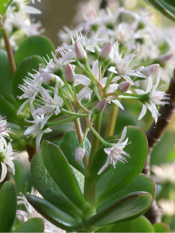 Les 490 meilleures images du tableau crassula sur for Plante crassula
