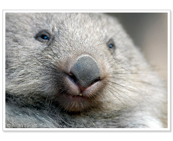 I realized i have to stop pinning wombats right now, because there is no such thing as a NOT cute wombat picture.   They are friggin adorable!
