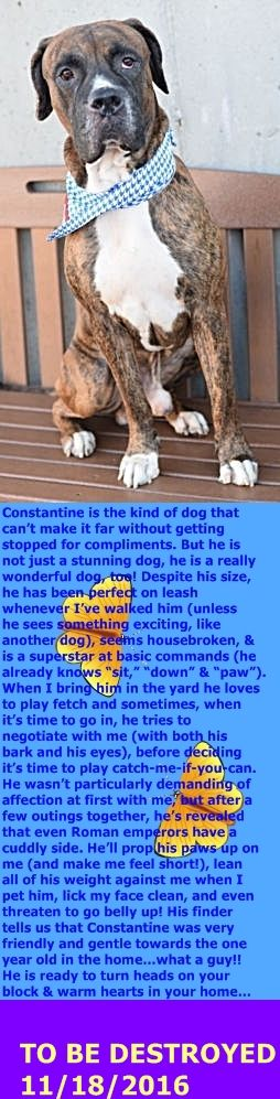 SAFE 11-18-2016 by Second Chance Rescue --- Brooklyn Center  My name is CONSTANTINE. My Animal ID # is A1095969. I am a male br brindle and white mastiff and am pit bull ter mix. The shelter thinks I am about 4 YEARS old.  I came in the shelter as a STRAY on 11/05/2016 from NY 11377, owner surrender reason stated was STRAY.  http://nycdogs.urgentpodr.org/constantine-a1095969/
