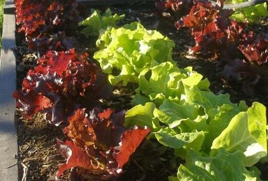 It's Not Too Late! A Guide to Planting a Late Fall Vegetable Garden in Phoenix - Chow Bella