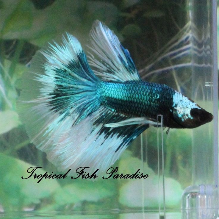 Lovely blue green red white black halfmoon hm imported for Ebay betta fish