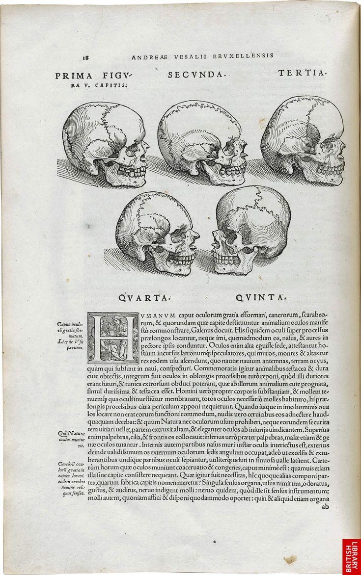 Engravings of skulls at various angles by Andreas Vesalius - Courtesy of The British Library