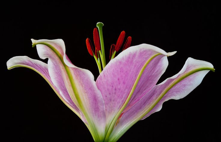 Pink and white stargazer lily shot against black background in studio