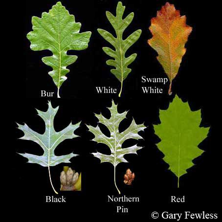 Oak (Quercus) Common types of Oak trees in North America include White Oak, Red Oak, Bur Oak, Pin Oak, and Black Oak. quercus_spp_leaves02.jpg 454×454 pixels