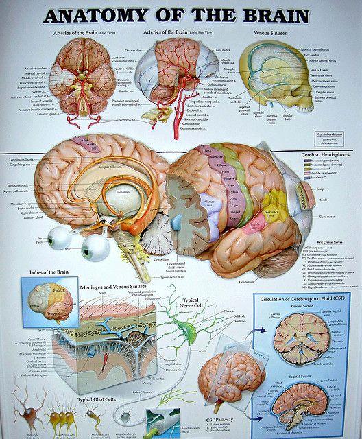 Brain Anatomy Chart by cobalt123, via Flickr