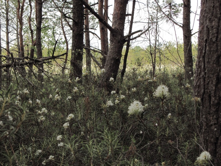 Ledum palustre, Polesie, Poland