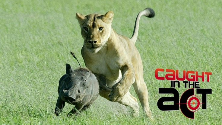 Lions Digging up Family of Warthogs | Caught in the Act