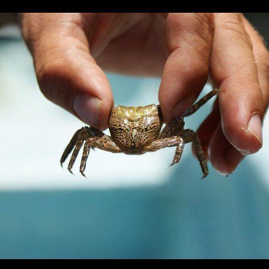 """Según la persona que nos llevaba este cangrejo lo llaman: el cangrejo """"Cara de tigre"""" // """"Tiger Face Crab"""" #tenacatita #costalegre #jalisco #jaliscoesmexico #manglar #wanderlust #livingtheadventure #travel #traveltheworld #viajemospormexico #mexico #cangrejo #tigre"""