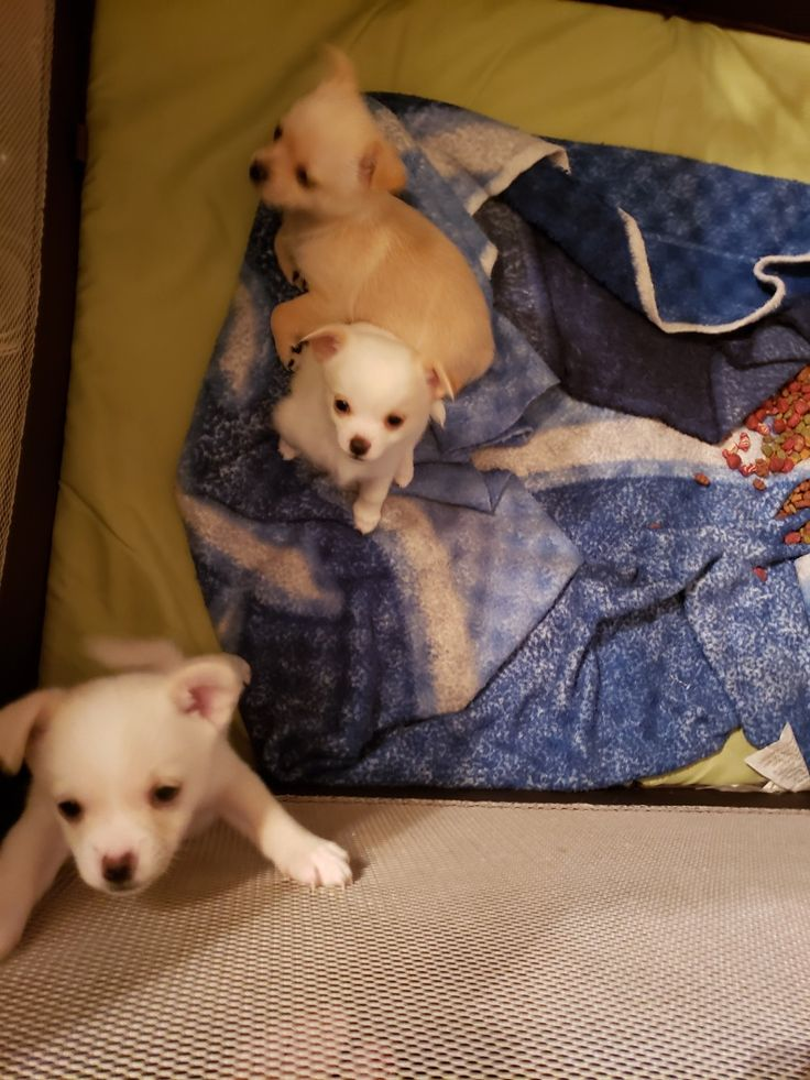 Park Art|My WordPress Blog_Teacup Chihuahua Puppies For Sale In Ohio Under 200