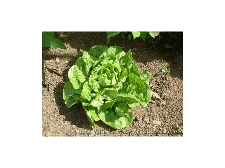 1,50 €Lettuce Seeds 'Green Mignonette' Butterhead Price for Package of 100 seeds. Green Mignonette' is a butterhead lettuce type. It is an excellent home garden variety as it is easy to grow with exceptional eating qualities and is slow to bolt. It has soft, deep green, ruffled leaves, a loose heart and is very tender and sweet. It is suitable for planting for most of the year. Days
