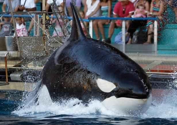 """Un sixième bébé orque est né en captivité à """"Marineland"""", a annoncé mardi la direction du parc marin d'Antibes."""