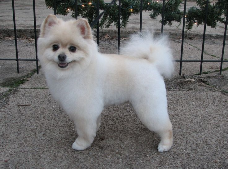 25 Best Ideas About Pomeranian Haircut On Pinterest Dog