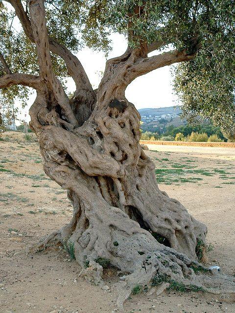 Olive Tree..