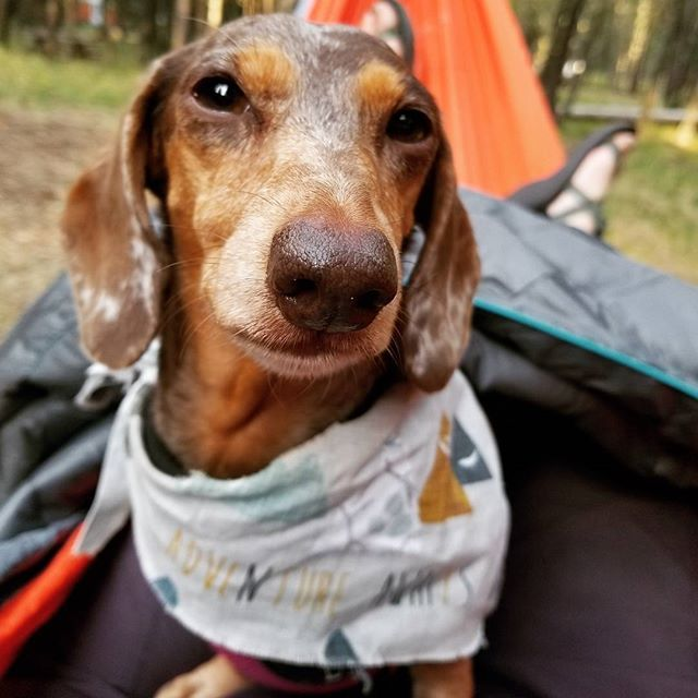 This Doxie loves camping! Check her out on Instagram.