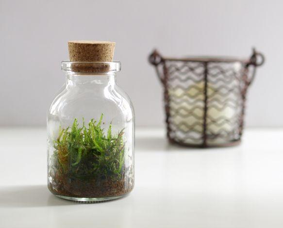 小さなコケの森 Sボトル瓶 ツヤゴケ|道草michikusa