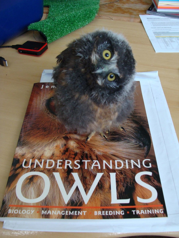Beautiful desk accessory from Wingspan Birds of Prey Trust- morepork/ruru trying to gain some inside knowledge!  https://www.facebook.com/photo.php?fbid=501167926581439=a.166130986751803.36347.164861640212071=1