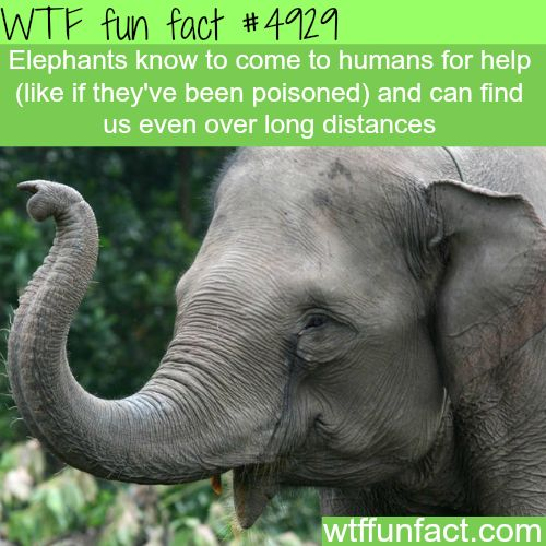 Elephants will seek a human's help! ...They have Not Lost Their Faith In Humanity!  ~WTF awesome & fun facts