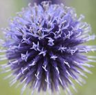 P13 Echinops ritro 'Veitch's Blue' globe thistle Position: full sun or partial shade Soil: poor, well-drained soil Rate of growth: average Flowering period: August Hardiness: fully hardy H: 90cm S: 45cm