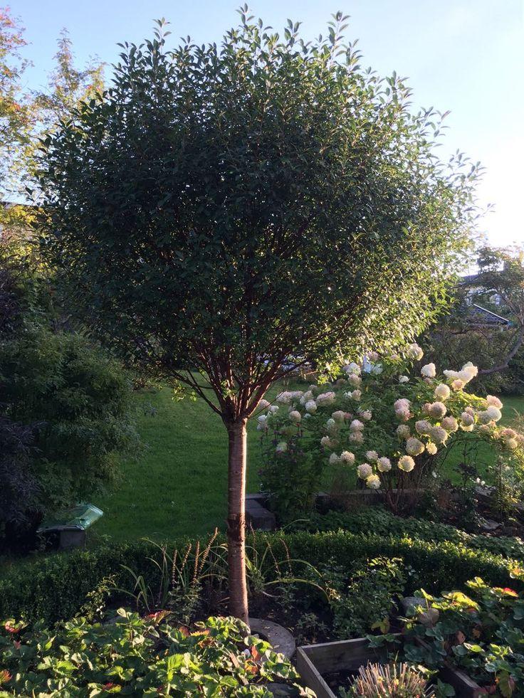Klotkörsbär, Prunus x eminens 'Umbraculifera', zon 5. Blir 3-4 m i krondiameter, med naturligt växande geometriks form. Oansenlig vit blom och nästan inga bär. Anspråkslös och tålig, men kan få svampsjukdomen blom- och grentorka i södra och västra Sverige.