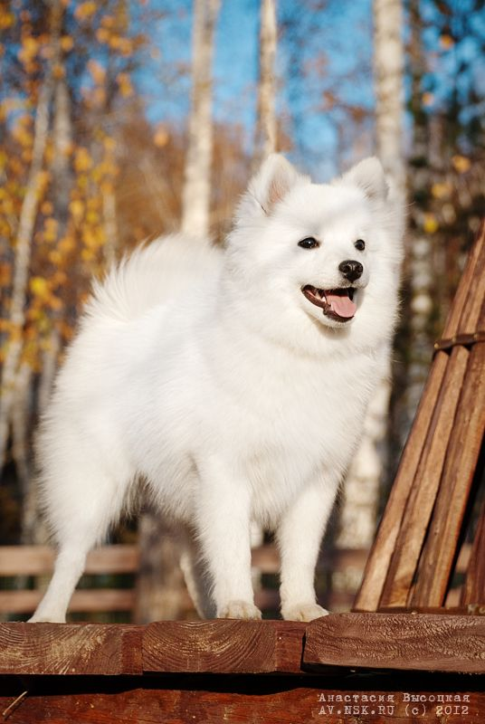 Japanese Spitz----to me this is an American Eskimo
