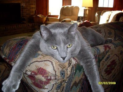 Russian Blue Cats | Russian Blue Cat Breed Info & Pictures | petMD