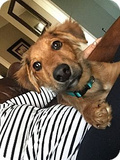 Winchester, KY - Corgi/Golden Retriever Mix. Meet Bailey, a puppy for adoption. http://www.adoptapet.com/pet/18009950-winchester-kentucky-corgi-mix
