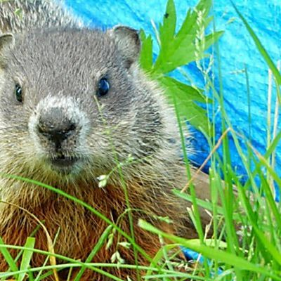 15 Fascinating Facts About Groundhogs | Care2 Causes