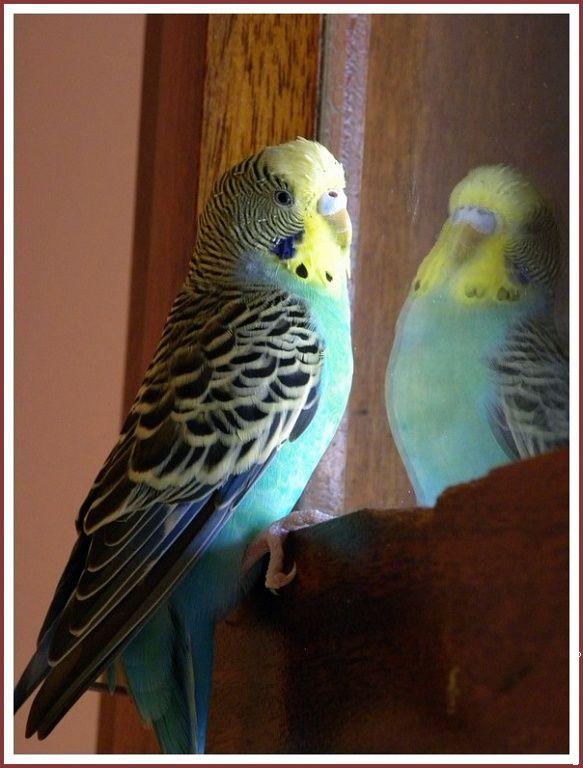 Oiseau perruche ondulee perruche 20090708