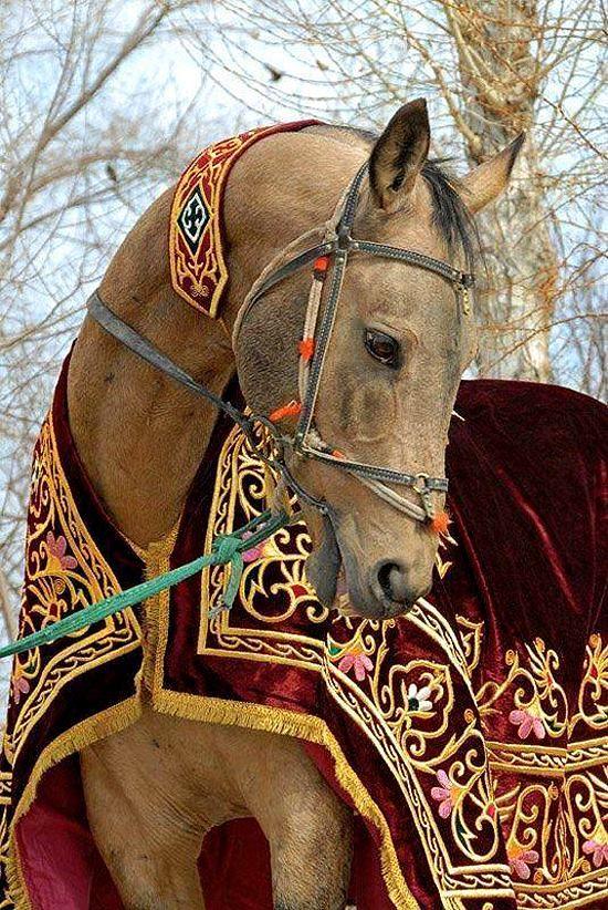 A középkorban ezek a lovak Rolls Royce-nak számítottak, ugyanis nagyon kevés táplálékkal napi 120-130 kilométer megtételére voltak képesek.  Ez a fajta intelligens, erős és kitartó, jól bírja a szélsőséges körülményeket, s nem utolsó sorban: csodaszép!   Érdemes megfigyelni néhány magyar eredetmondákból és a meséinkből visszaköszönő, vele kapcsolatos motívumokat: az égbe törő ló, a fehér ló, a tüzes ló, a réz, ezüst, és az arany szőrű paripa, stb. Ez bizony: az Akhal Teke!