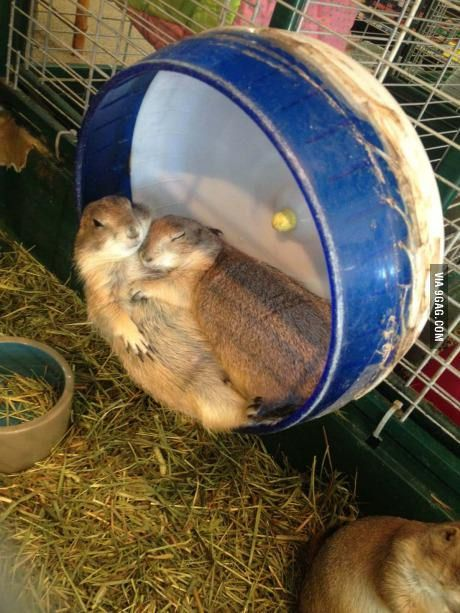 Two prairie dogs cuddling like humans at the pet store