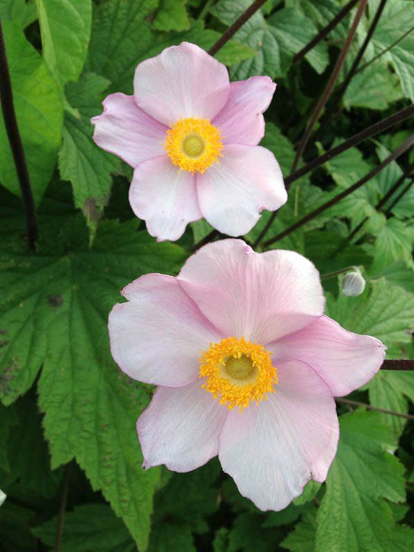 best 20+ anemone du japon ideas on pinterest | fleur du japon