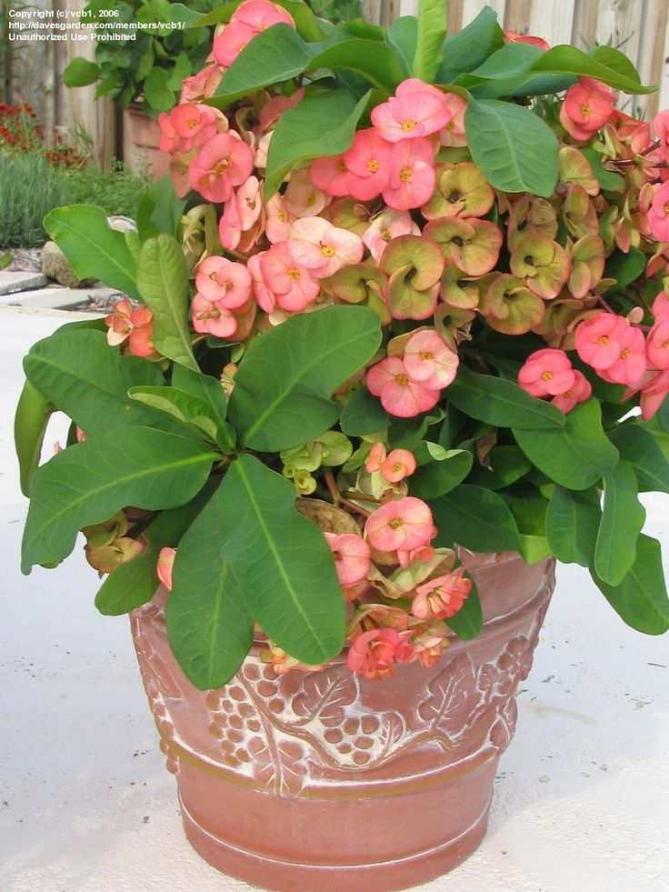 how to grow crown flower plant from cutting