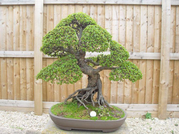 large elm