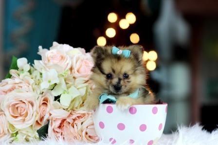 Pomeranian Dogs Teacuppomeranianpuppy Cute Pomeranian